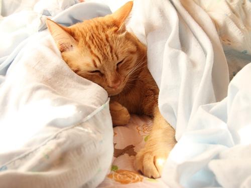 12月の猫(チャイ2歳8か月) お昼寝が気持ちよさそう・・・