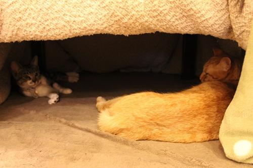 こたつのなかの猫2匹