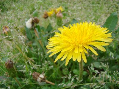 タンポポの花の写真