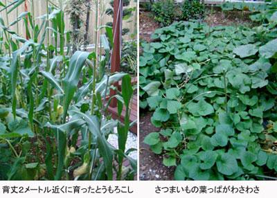 corn-potato2009.jpg