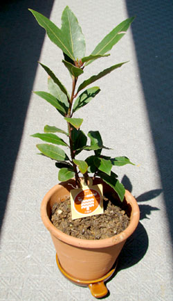 ローレル(月桂樹)の苗木