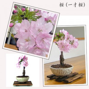 小品盆栽「桜(一才桜)」 おじいちゃんへの贈り物