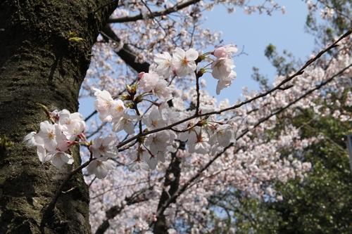 庄内緑地公園の桜