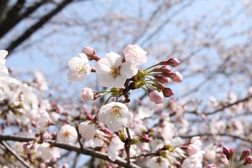 愛知(庄内緑地公園)の桜、静岡(川根町・家山桜トンネル)の桜