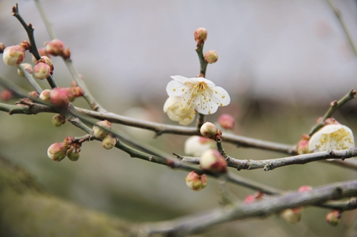 叶匠壽庵・寿長生の郷の梅の花