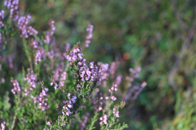 エストニア・トルクセ湿原(Tolkuse bog)の草花