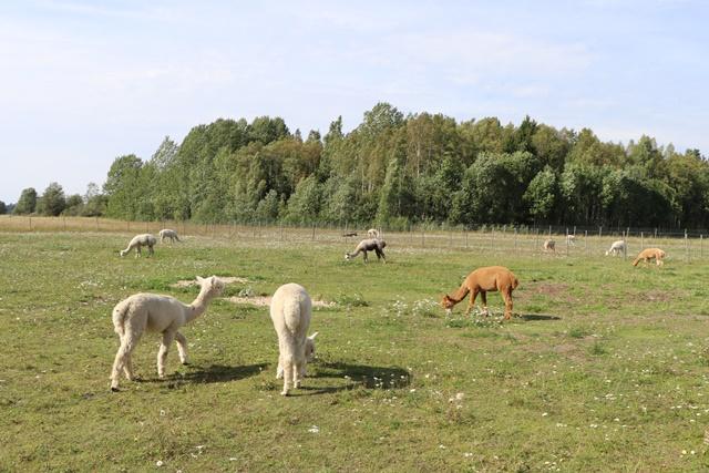エストニアのアルパカファームのアルパカ
