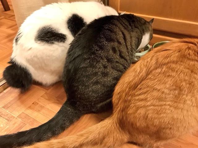 ピュリナ ワン キャットを食べるわが家の猫たち