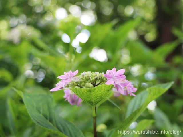 美裳神社(みもじんじゃ)の紫陽花