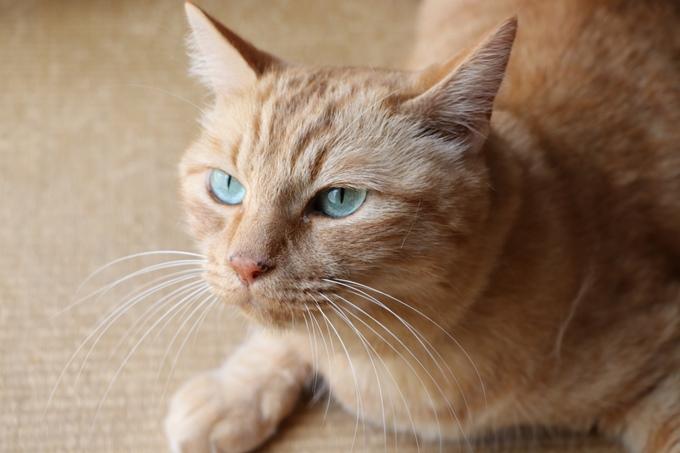 猫のチャイ